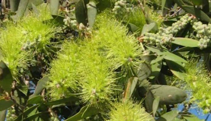 Полезные свойства эфирного масла чайного дерева